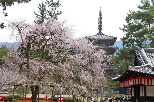 """National treasures: """"Omote-Shoin (a main drawing room)"""" and """"Daigo-no-Hanami (blossoms viewing at Daigo)""""  Enjoying """"Japan"""" and Cherry blossoms at Daigo-ji temple in Kyoto"""