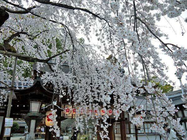 """Japanese  """"spring time""""  by seeing cherry blossoms on the tatami"""