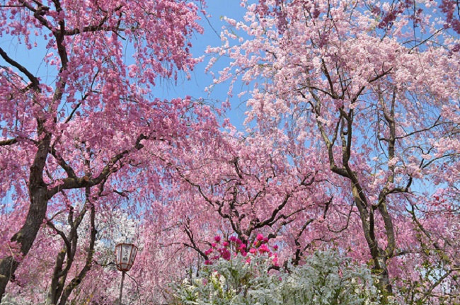 """Personal garden """"Haradani-en"""" The world of Japan by cherry blossom all around"""
