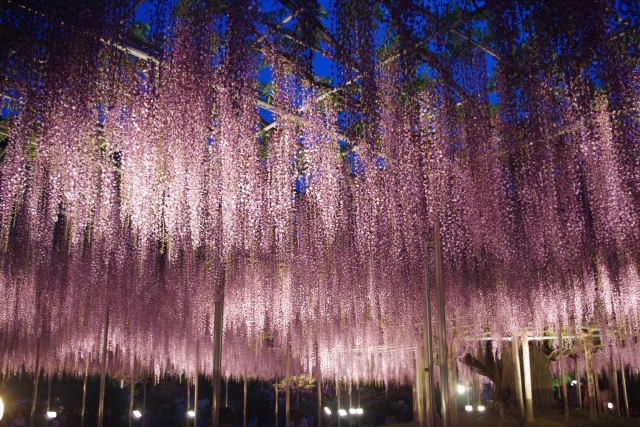 A popular tourist spot to feel Japan   Vol.25 Ashikaga in Tochigi Marvelous wisteria flowers and the oldest Japanese school