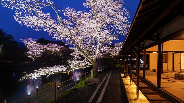 A popular tourist spot to feel Japan   Vol.26 Marvelous cherry blossoms on the lights, glow with the blue sky and Takeo in Saga Mifuneyama Rakuen