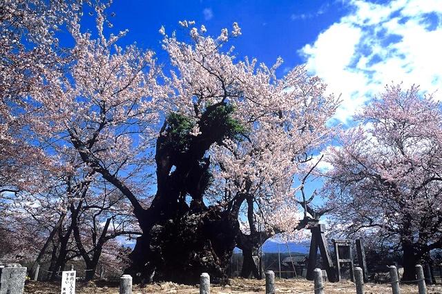 "A popular tourist spot to feel Japan  Vol.32 Feel the Japanese spring in Hokuto, Yamanashi A famous tree of a natural monument ""Yamataka Jindaizakura"" and Kura cafe"