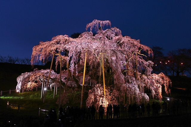 """A popular tourist spot to feel Japan Vol.33 Miharu Town in Fukushima One of the three giant cherry trees of Japan """"Miharu Takizakura"""" and Cultural Heritage Museum"""