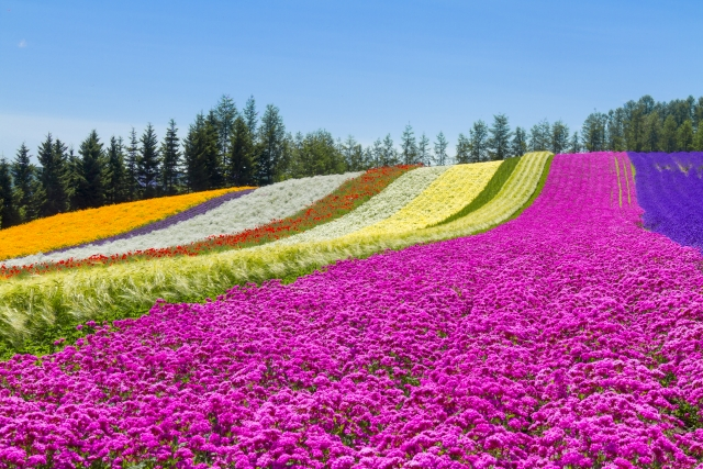 """A popular tourist spot to feel Japan Vol.36 The beginning of the summer in Hokkaido The power of nature and Japanese atmosphere are felt from lavenders and a blue pond """"Tokachidake Hot Spring"""""""