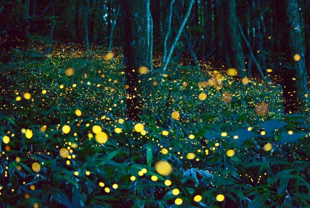 "Lights of Fireflies that decorate the summer night ""Horoshin Spa"" in Hokkaido Enjoying the Japanese atmosphere by firefly viewing and the hot spring"