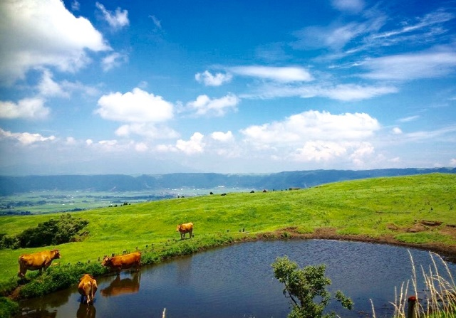 When breeding the lean beef in Japan, it becomes like this! Red cattle in Aso, Kumamoto Prefecture, where is the fire country