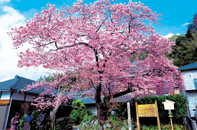 "The place of ""The Izu Dancer""  decorated by Kawazu cherry trees that are early cherry trees Historic inns and the Japanese atmosphere loved by great writers"