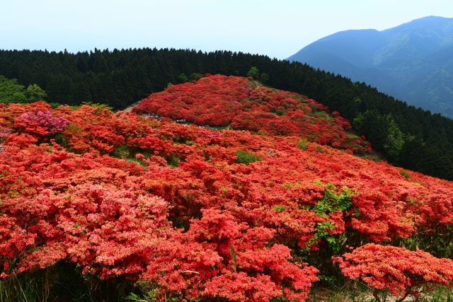 The marvelous view of azalea flowers The grand view of Mt. Yamato-Katsuragi and the townscape with the historic atmosphere in Gose, Nara